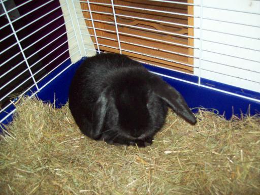 baby bunny Fluffy Obsidian