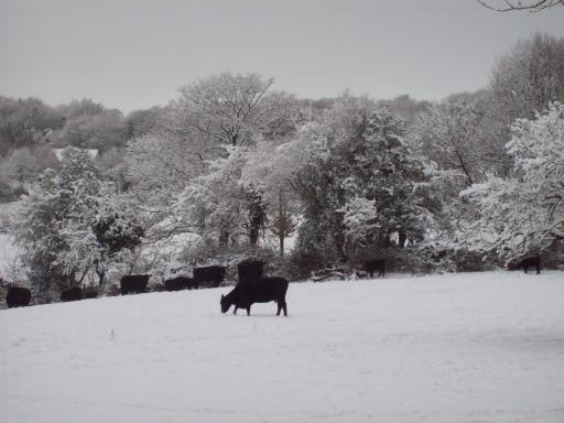 Cow on Snow Cranham