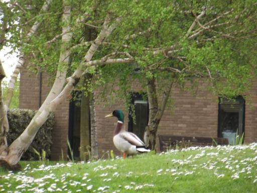 Duck at UWE