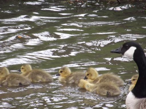 goslings and mum out for a swim