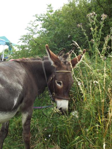 Donkey eating the hedge of the cricket pitch cranham feast