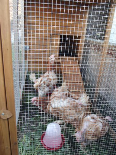 Rehomed chickens failing to understand the ramp!
