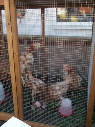 The chickens in their new home!