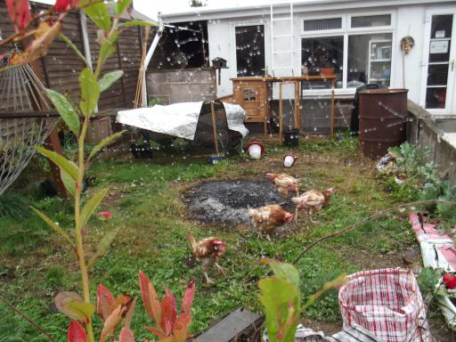 Chickens in the damp garden