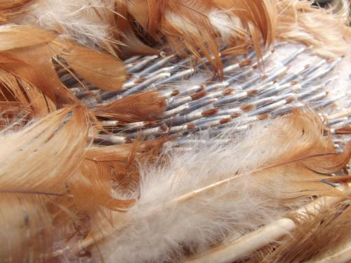 Ex-battery chickens regrowing feathers