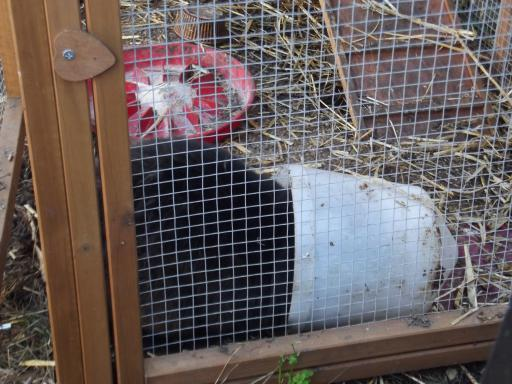 rabbit in the chicken coop