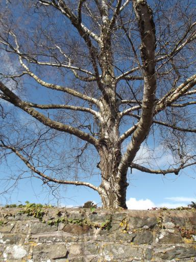 Grey tree against blue sky