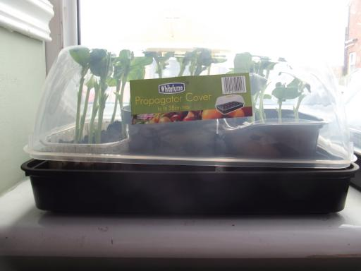 broad bean seedlings in window sill propagator