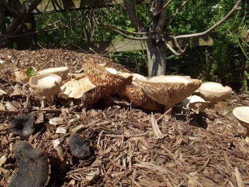 Epic mushrooms grown on bark pile