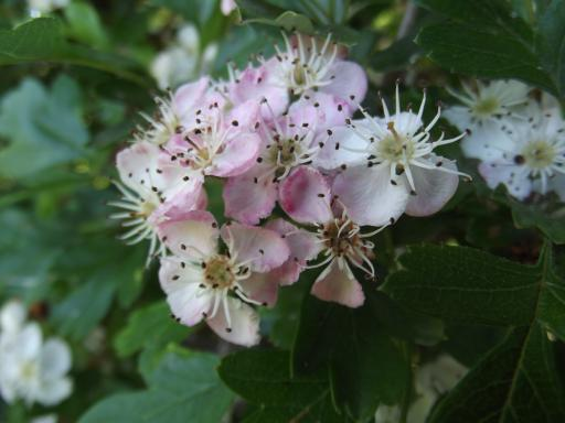 Hawthorn May Tree blossoms