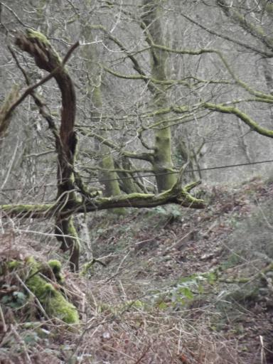 Dragon tree in the Forest of Dean