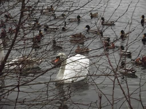 Swan and ducks and couts etc... Forest of Dean on New Years Day