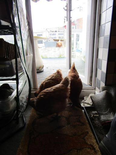 Chickens coming into the house