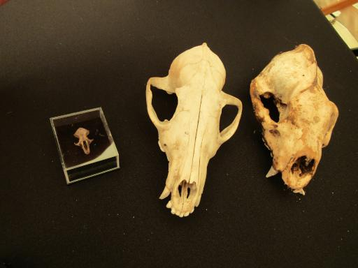Mouse, fox and badger skulls country file live
