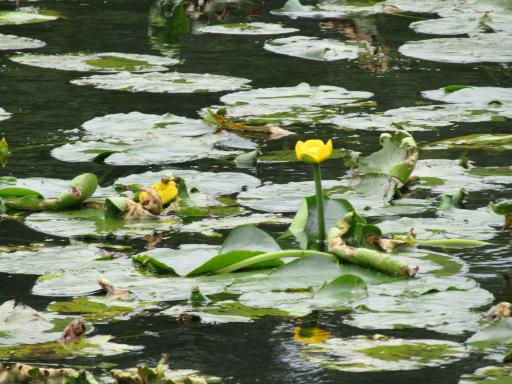 yellow water lilies on the lake Country File Live